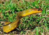 Reptiles en el Manu